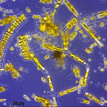 Ice diatoms are principally characterized by pennate species that sometimes form colonies (such as Fragilariopsis oceanica, in the photo).They develop well in advance of diatoms in the water column, which can be either pennate or centric.