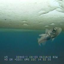 "A little Arctic cod is saying ""Hi"""
