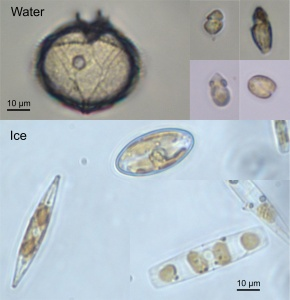 Green Edge Ice Camp Phytoplankton 01