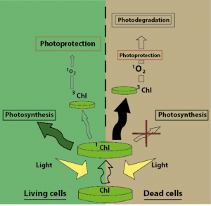 Figure 1: Process of photodegradation in living (left) and dead (right) phytoplankton cells.