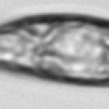 Euglenophyceae
