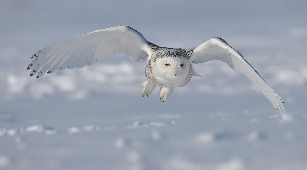 Snowy-Owl.1