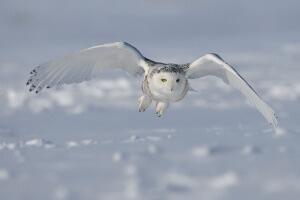 Snowy owl - Credit: Bert de Tilly